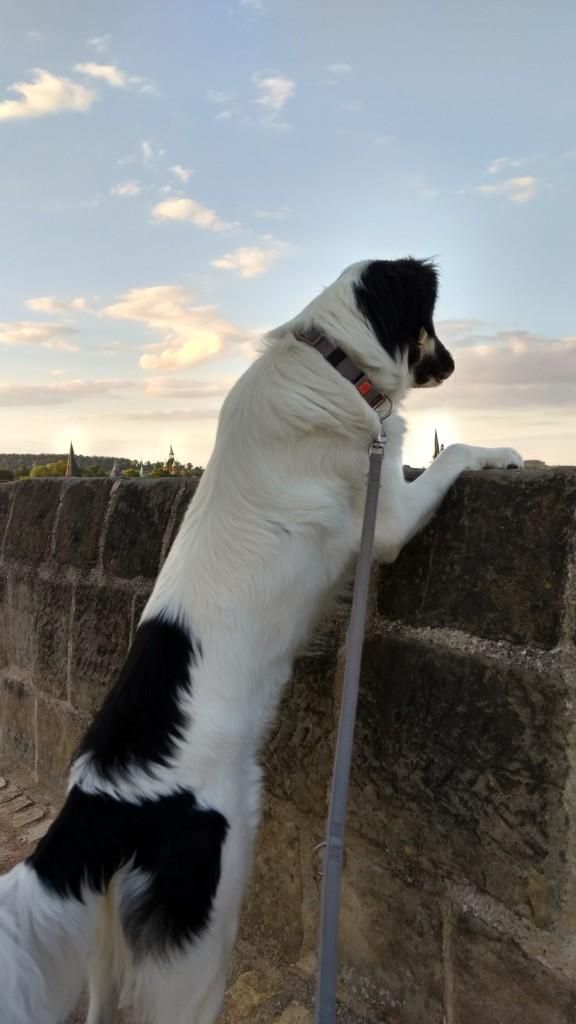 Ein schwarzweißer Hund steht auf den Hinterbeinen und hat die Vorderpfoten auf eine Mauer gelegt. Es handelt sich um die Burg in Quedlinburg.