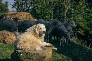 Ein weißer Herdenschutzhund bewacht seine Schafe.
