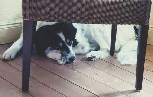 Frollein Frieda, der Herdenschutzhundmix, liegt unter einem Stuhl und döst.